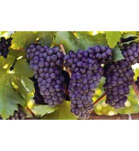Виноград Черный ЮАР