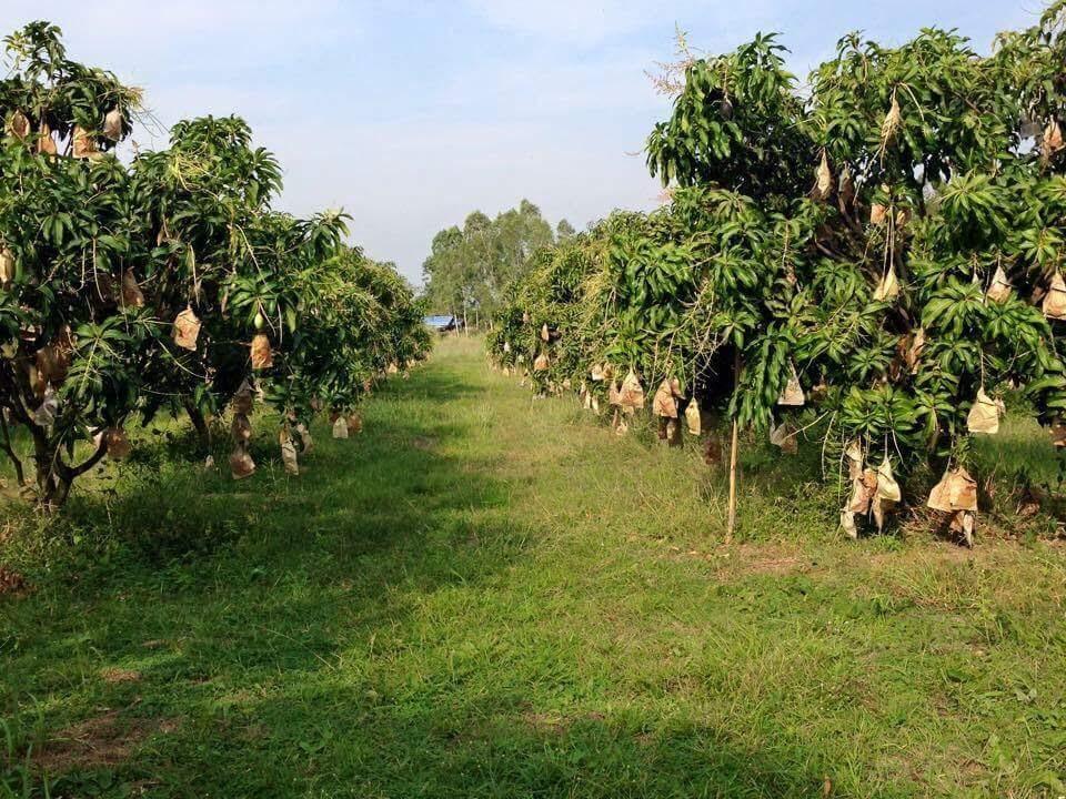 Как выращивают манго?