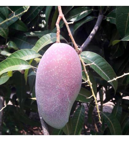 Манго Ювэн Таиланд, 1 кг